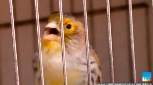 canario-agata-cantando