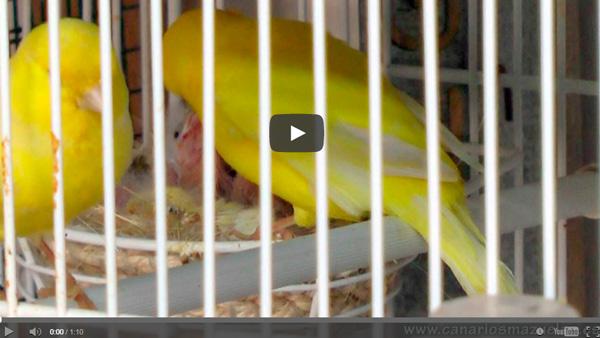canarios-dando-de-comer-a-crias