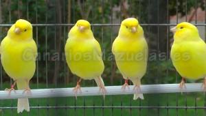 Videos-de-Canarios-de-Color-Lipocromo-Amarillo-4-en-el-palo