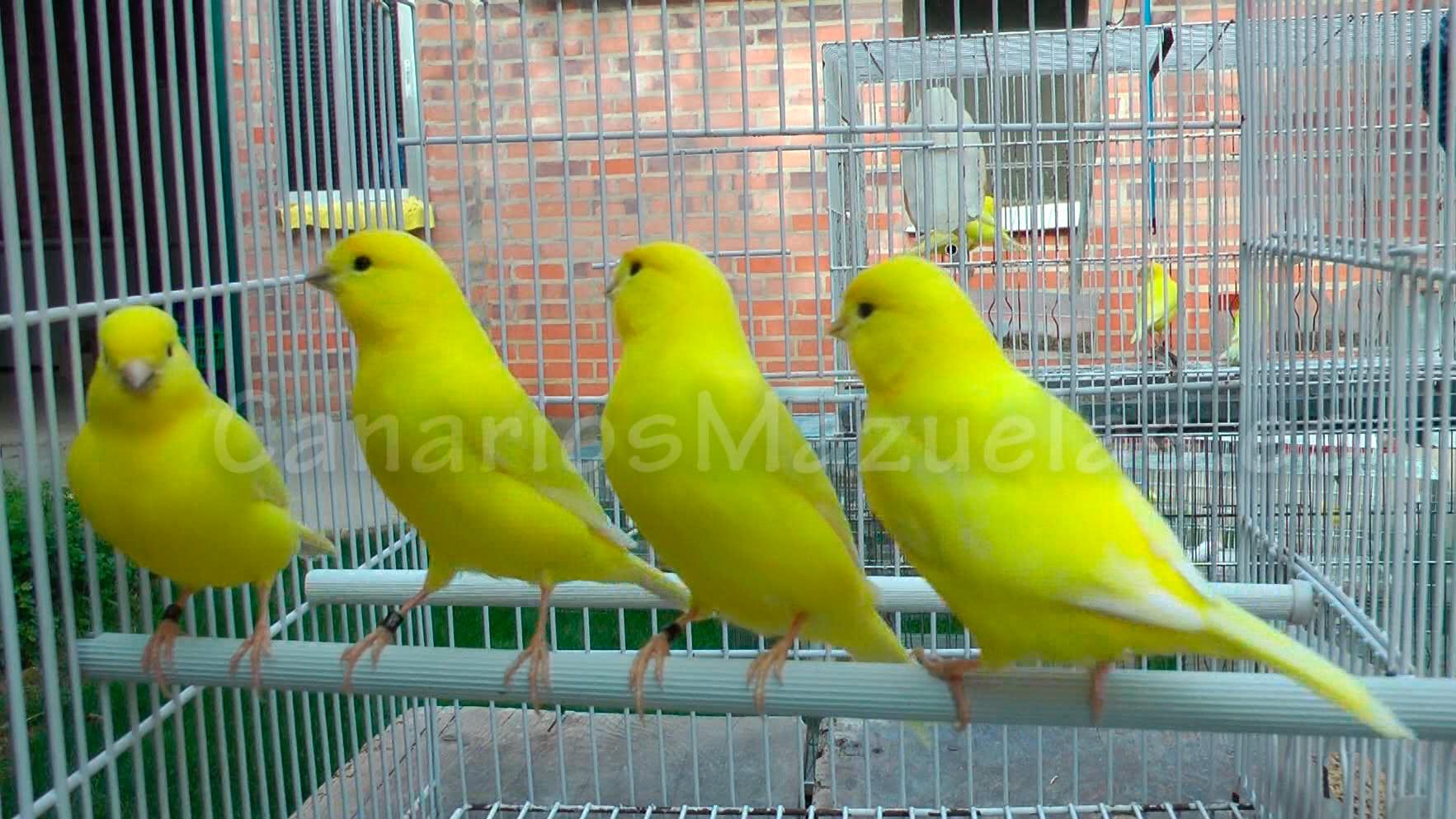 4-canarios-amarillos-intenso