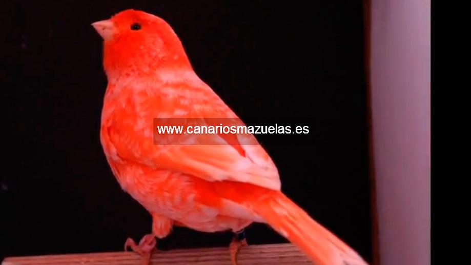 canario-rojo-nevado